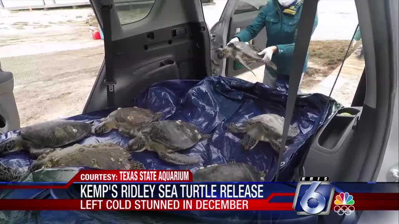 Kemp's ridley sea turtles safely back in ocean